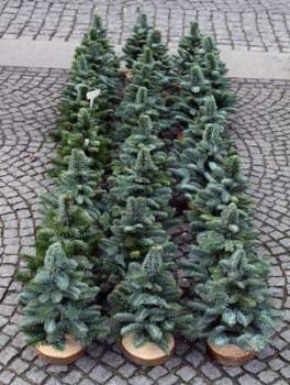 Es werden immer mehr Weihnachtsbäume im Topf verkauft.