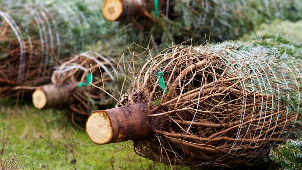 Rund 200.000 Weihnachtsbäume mehr werden in diesem Jahr in Deutschland verkauft, bringen aber keinen höheren Umsatz. Foto: Pixabay, LloydTheVoid.