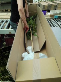 Der Versand der Pflanzen erfolgt zum Händler oder direkt zum Endkunden.
