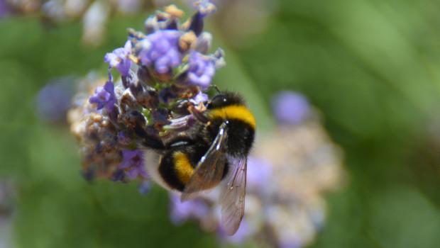 Toom lässt das Sortiment auf seine Bedeutung für die wichtigsten bestäubenden Insektengruppen wie Wildbienen, Hummeln oder Honigbienen überprüfen.