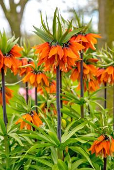 Kiepenkerl, Kaiserkrone 'Orange Beauty'