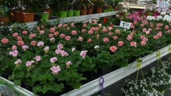 Blumen und Pflanzen immer häufiger aus heimischer Produktion