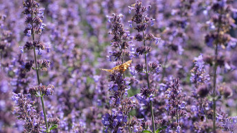 Landgard meldet verstärkte Nachfrage nach bienenfreundlichen Pflanzen