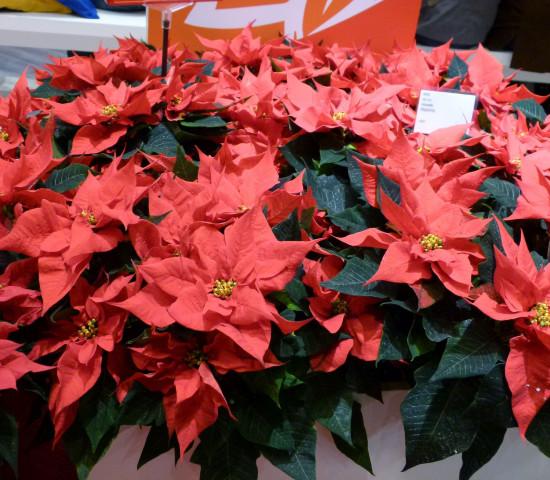Auf zehn Prozent konnten die Weihnachtssterne ihren Anteil an den Ausgaben für blühende Zimmerpflanzen steigern. Sie liegen damit auf Platz zwei hinter den Topforchideen bei den Top Ten der blühenden Zimmerpflanzen. Foto: Grimminger