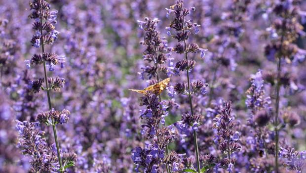 Seit Ende April nimmt die Saison für insektenfreundliche Pflanzen im Garten und Balkon zunehmend Fahrt auf.