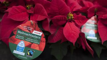 Toom bietet nur noch Fairtrade-Weihnachtssterne an