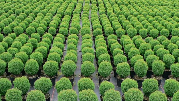 Die Baumschulflächen in Deutschland sind seit 2012 um 14 Prozent geschrumpft, hat Destatis ermittelt.