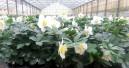 Selecta one erwirbt Helleborus-Programm von Bock Bio Science