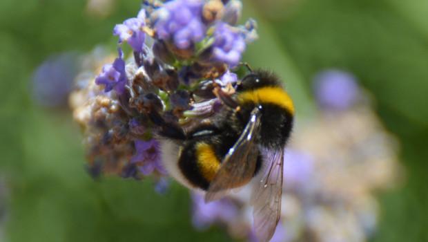 """Die Gesetzesinitiative ist aus dem Volksbegehren """"Rettet die Bienen"""" hervorgegangen."""