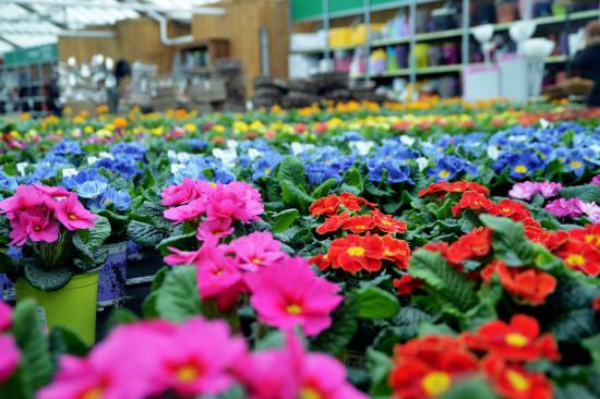Normalerweise sind Frühblüher zu Jahresbeginn eine Augenweide für die Kunden in den Gartencentern. In diesem Jahr haben sie kaum eine Chance auf Vermarktung.
