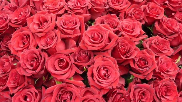 Der Fokus der Verbraucher lag zum Valentinstag 2018 wieder stärker auf dem Klassiker: Rosen, am liebsten in Rot. Aber auch andere Farben wurden gekauft.