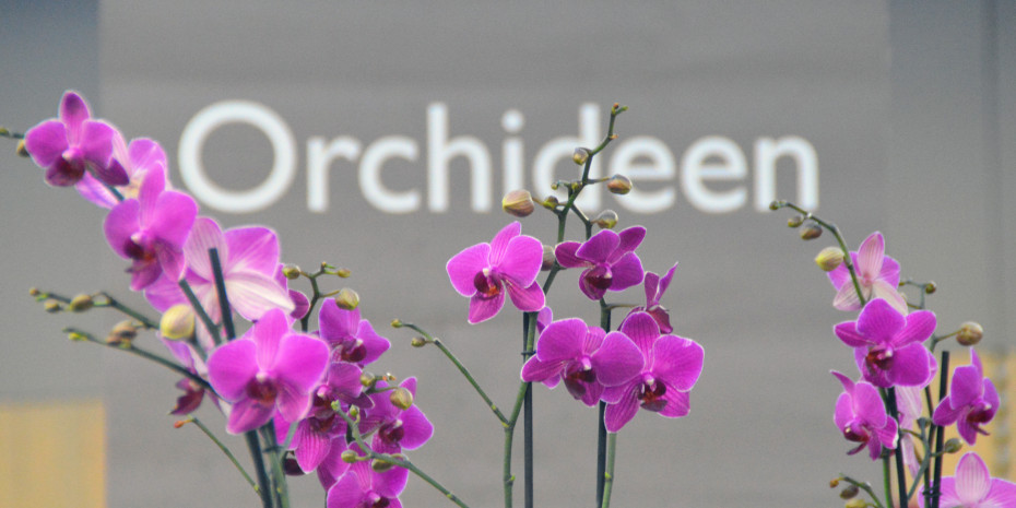 Die Orchidee: wichtigste blühende Zimmerpflanze im Gartencenter