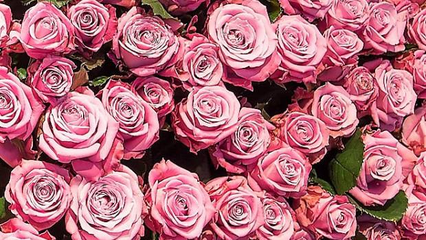 Was kosten Rosen? Die Preisunterschiede sind offline wie online groß.