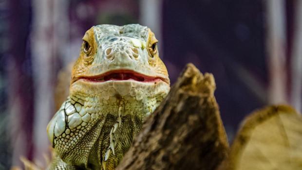 Reptilien gehören nicht ins Wohnzimmer, sagt Peta.