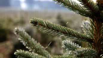 Weihnachtsbäume kaum teurer im Krisenjahr