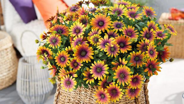Selecta one, FleuroStar Award Gewinner, Osteospermum Purple Sun