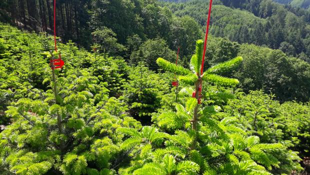 In Deutschland wachsen die grünen Feiertagsboten in sogenannten Weihnachtsbaumkulturen.