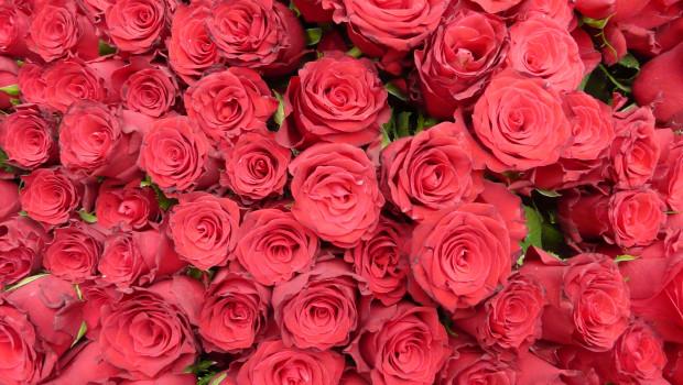 Rote Rosen sind der Klassiker zum Valentinstag.