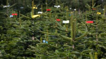 Keine Lieferengpässe und Preissteigerungen bei Weihnachtsbäumen